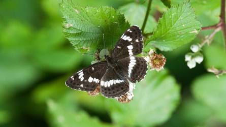 White admiral butterfly on leaves with blossom showing upperwing