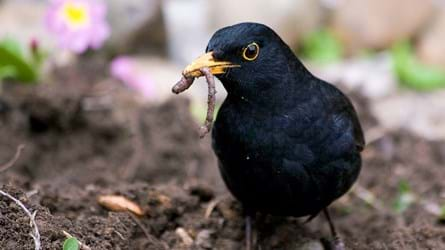 Male blackbird with worm