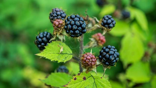 Bramble fruit