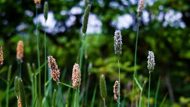 Meadow Foxtail Grass Seed