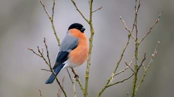 Bullfinch on branch