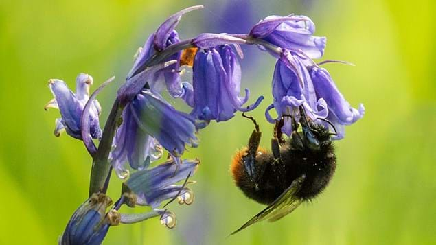 Bee pollinating a bluebell