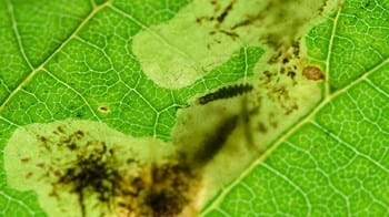 Larvae of the horse chestnut leaf miner boring through the inside of a leaf