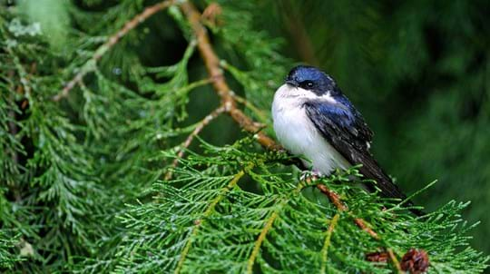 house martin on pine tree