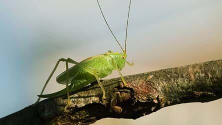 Oak bush-cricket female on a tree branch