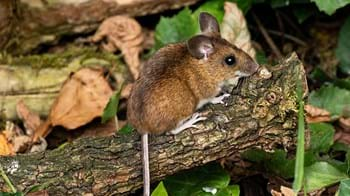 Wood mouse on trunk