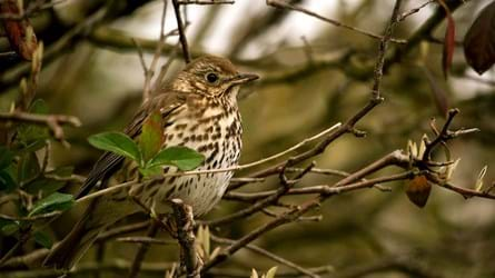 Song thrush perched in tree