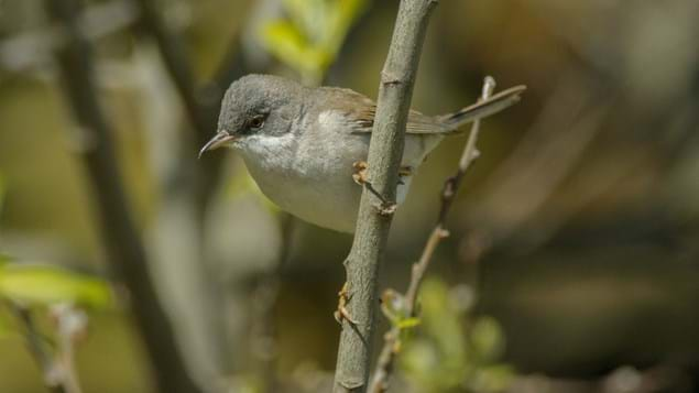 Whitethroat on branch.