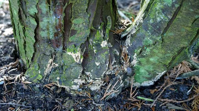 Phytophthora Lateralis lesions at the base of Lawson cypress tree