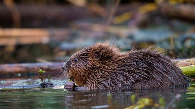 Eurasian beaver feeding on willow twig in water