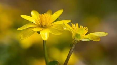 Lesser celandine flowers in woodland
