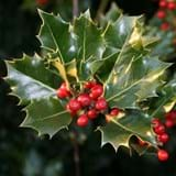 Close up of a cluster of holly leaves and berries