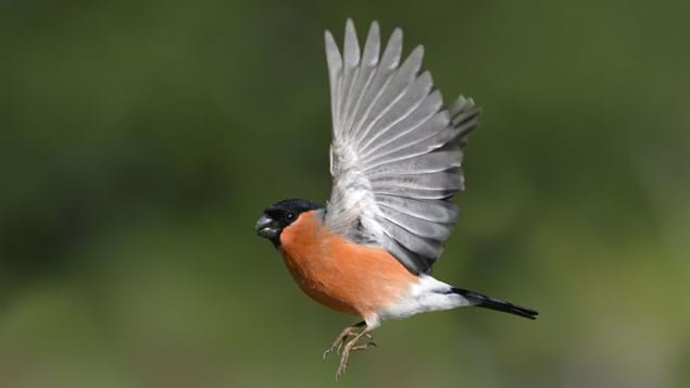 Male bullfinch in flight