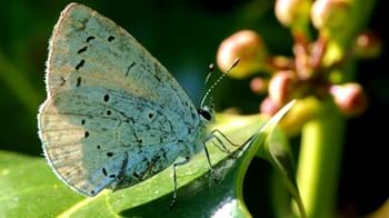 Holly blue butterfly on leaf
