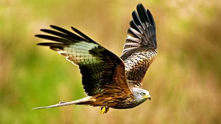red kite flying close up