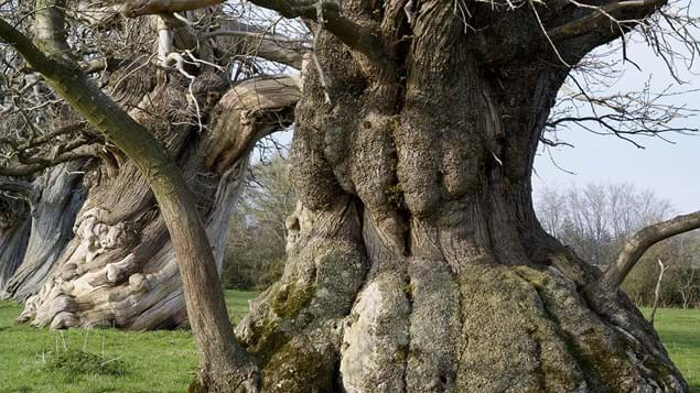 ancient tree with wide trunk