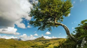 Silver birch crooked tree in Scottish landscape