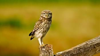 little owl perched on fence post