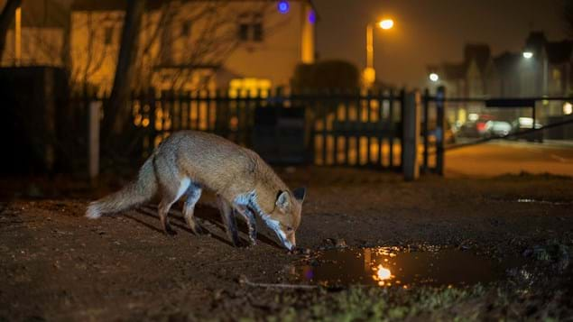 A fox sniffing a puddle in a built up area at nighttime