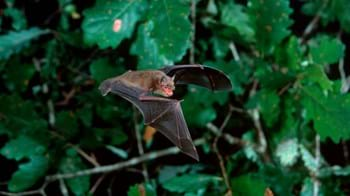 Soprano pipistrelle bat flying in front of an oak