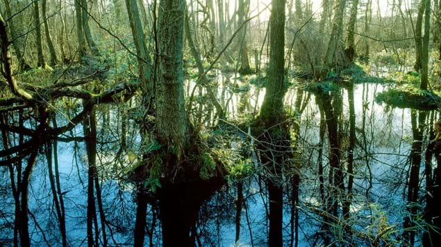 Waterlogged woodland with Alder growing above water and reflected