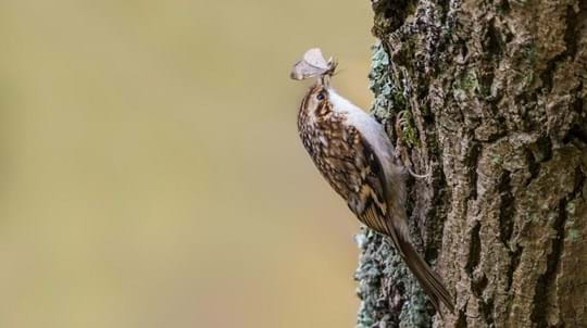 Treecreeper on a tree eating a moth