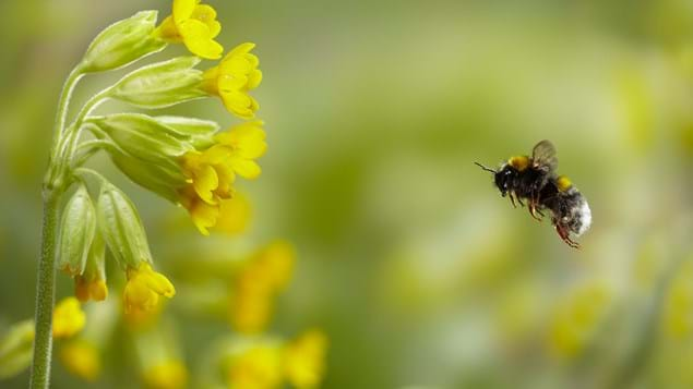 Cowslip buff-tailed bumblebee