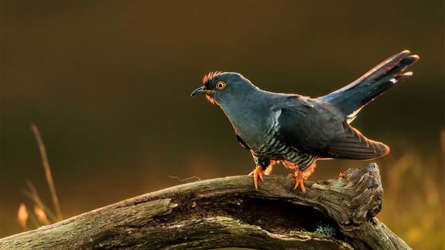 Male cuckoo hunting for caterpillars
