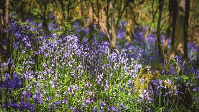 Bluebells in Brynau Wood