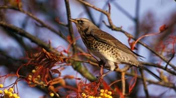 Fieldfare in tree with berries
