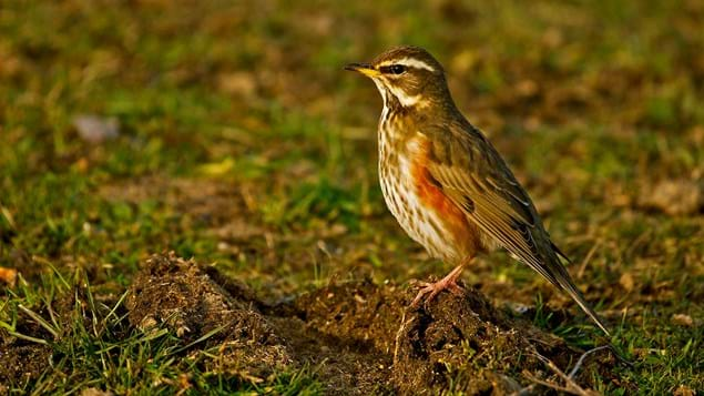 Redwing on ground
