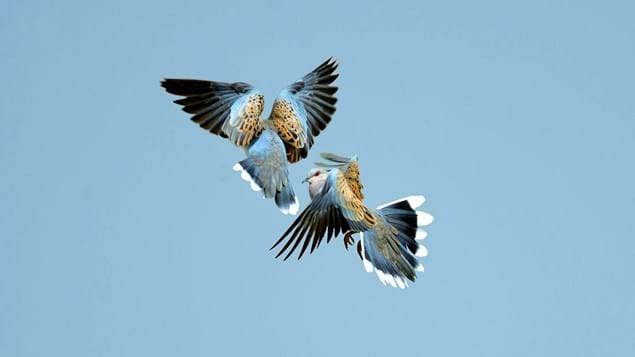 Two turtle doves fighting in flight