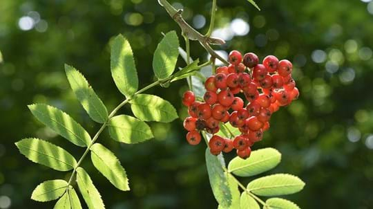 Rowan berries and leaves, Brooke Hill Wood, Rutland
