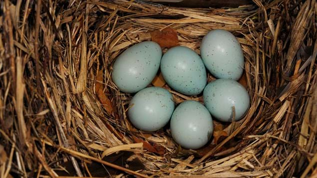 Starling eggs in nest