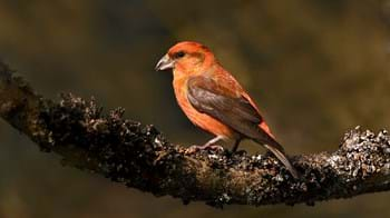 Common crossbill male on branch