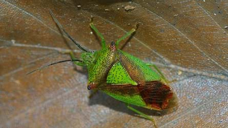 Adult hawthorn shield bug on beech leaf