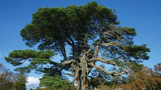 Scots pine tree ancient