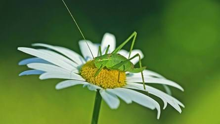 A speckled bush cricket adult female on an oxeye daisy