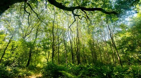 Fox Covert woodland under threat from HS2
