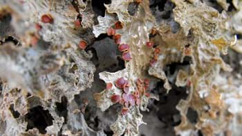 Lobaria pulmonaira on ash tree at Berth Lwyd