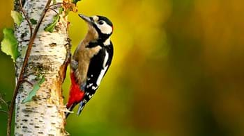 great spotted woodpecker on silver birch tree