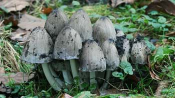 Common inkcap fruiting bodies