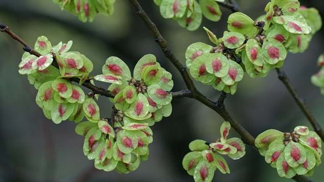 field elm seeds in spring