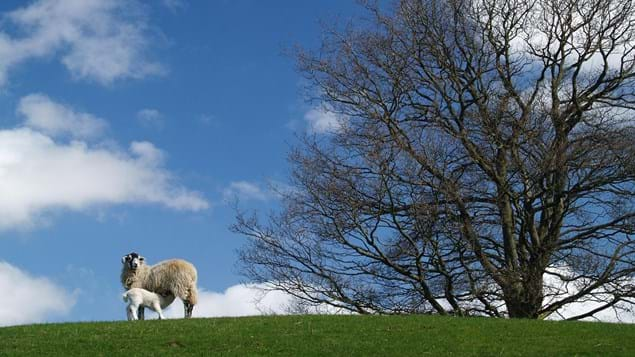 A sheep and lamb on a hill with a large tree