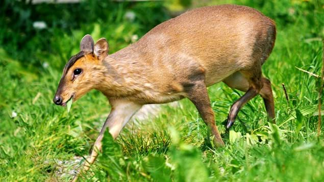 Muntjac deer walking through grass
