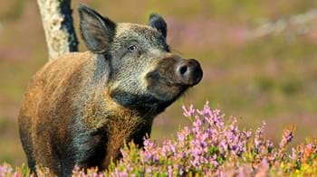 Wild boar near flowering heather
