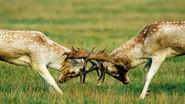 Fallow deer stags fighting during the rutting season