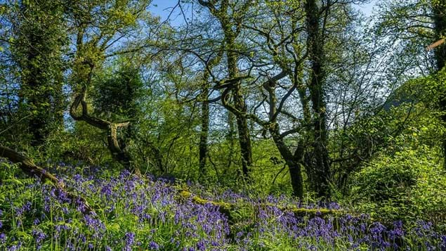 Bluebells in ancient woodland at Avon Valley Woods