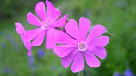 Red campion flower close-up