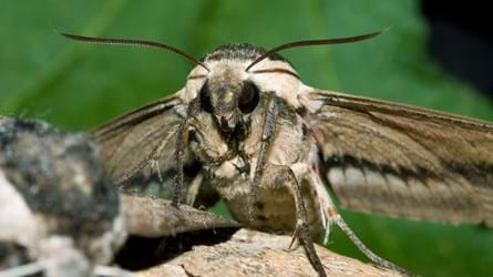 privet hawk-moth on wood close-up
